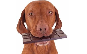 WHAT TO DO IF YOUR DOG ATE CHOCOLATE!  David Utter, Dog Trainer: Service Dogs, Therapy  Dogs, Behavior Modification, PTSD, Depression, Aggression. Board and Train. Www.DavidUtter.com. Dogtrainingorangecountyca.com. 1-959-7463