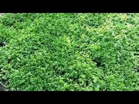 Bonen kweken, stokbonen zaaien.mov - YouTube