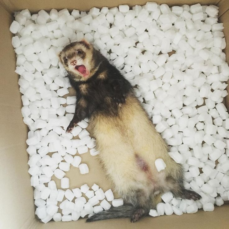 'Ahhh.. I've been caught red handed..' #ferret #ferretsagram #ferretsofinstagram #instapet #instaferret #pet #petsagram #petsofinstagram #cute #play