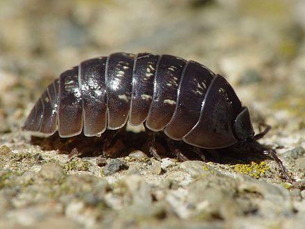 Armadillidiidae - Wikipedia, the free encyclopedia