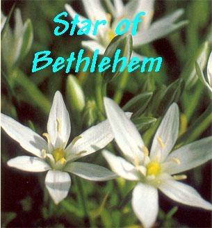Star Of Bethlehem - Inconsolável /  Efeitos posteriores a choques e traumas / Ajuda à cicatrização.