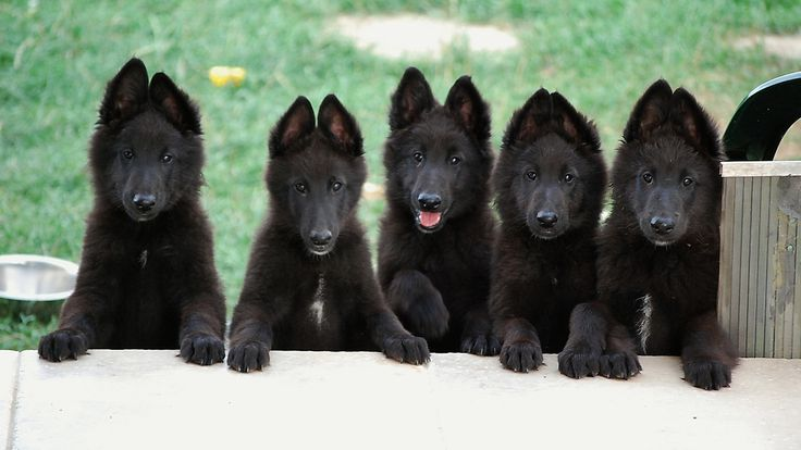 Love that funny ear stage of Belgian Sheepdog puppyhood