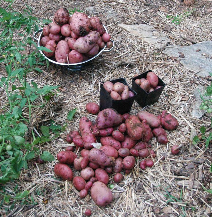 Kartoffeldyrkning i halmballer er nemt og super effektivt - ingen hypning og ødelagte kartofler. Vi planter kartoffelen ved at skære dybt ind i ballen.