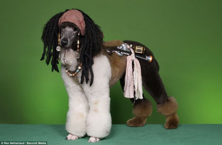 `: Animals, Poodle, Dogs, Jack Sparrow, Pet, Jack O'Connell, Dog Grooming, Captain Jack, Pirate