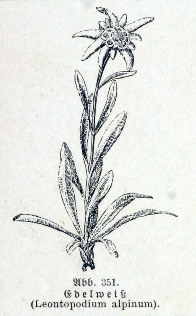 Leontopodium-alpinum-192.jpg 683×1'099 pixels
