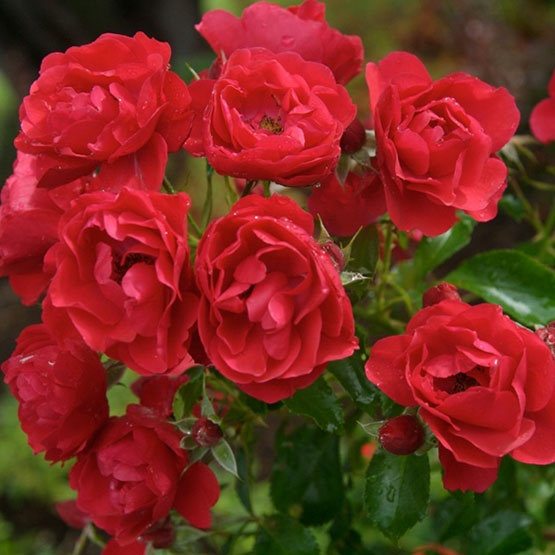 foto de 148 best Roses with names images on Pinterest Garden roses Rose flowers and Roses