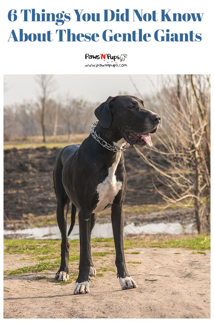A Great Dane Everyone Knows One When They See One They Are The
