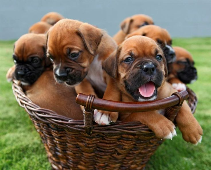 Good Brindle Boxer Bow Adorable Dog - b7815b71b4d99001a52953b87354fb61--boxer-puppies-for-sale-cute-puppies  Collection_935142  .jpg