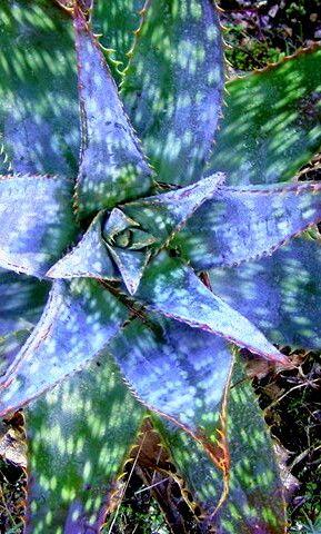 Homöopathie Globuli Aloe vera Anwendung und Wirkung von Heilpraktiker erklärt #Homöopathie #Globuli