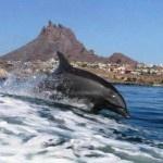 Dolphin in San Carlos Mexico