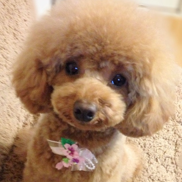 toy poodle - I love the fuzzy round head.