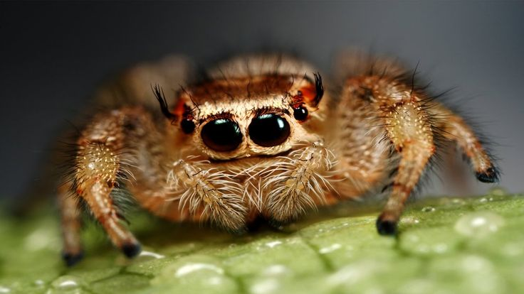 """list of top 10/ten most dangerous deadliest and worst spiders around the world.  Get Updates : https://www.youtube.com/channel/UCDrKwuwI0g22eALhB2deUAw?sub_confirmation=1  10. Hobo Spider (Tegenaria agrestis) There are two reasons the hobo spider has made it onto this list; firstly it is aggressive and fairly common which increases the chance of an actual bite occurring.  """"worst spider bites"""".   9. Camel Spider (Solifugae) The camel spider really is the stuff of nightmares. The biggest…"""