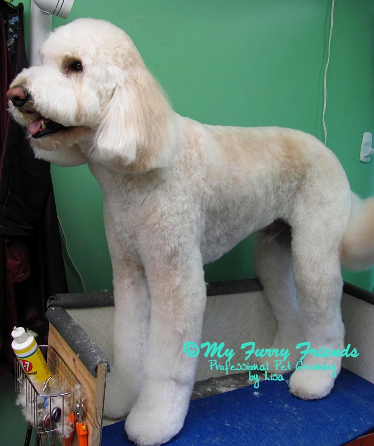 9 Best Images About Doodle Haircut On Pinterest