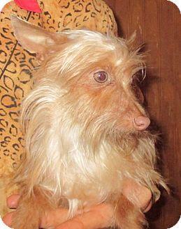 Waldron, AR - Yorkie, Yorkshire Terrier/Chihuahua Mix. Meet SPENCER BARKLEY, a dog for adoption. http://www.adoptapet.com/pet/14774333-waldron-arkansas-yorkie-yorkshire-terrier-mix