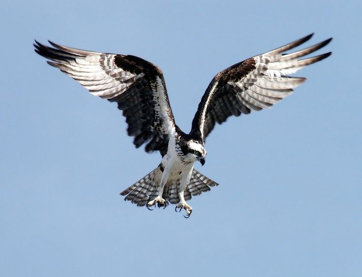 Learn more about Britain's birds of prey #birdwatching http://bit.ly/birds-prey