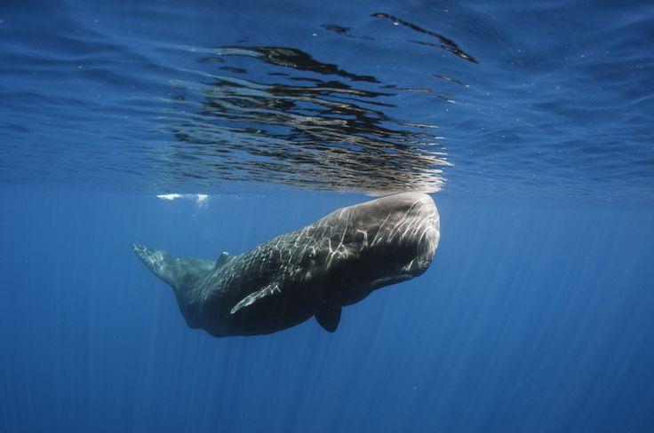 Il capodoglio, Physeter macrocephalus, appartiene all'ordine degli odontoceti. E' il più grande cetaceo odontoceta della Terra e si trova in tutti i mari e gli oceani del mondo. Il suo habitat è il mare aperto, quindi dove le profondità arrivano ed oltrepassano i 1000 m. Si è osservato che è presente con maggiore frequenza nella scarpata continentale e nelle acque più profonde, dove caccia i calamari giganti.