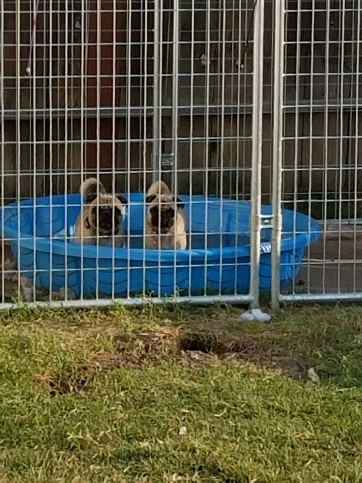 Cooling your pugs down. A really cool way is to buy a kiddy pool and fill it up with cold water and the rest is up to them my pugs love it