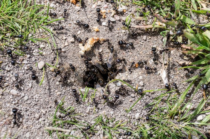 """""""Il Teschio è saltato in piedi come se fosse seduto su un formicaio"""" (p. 194): anthill"""