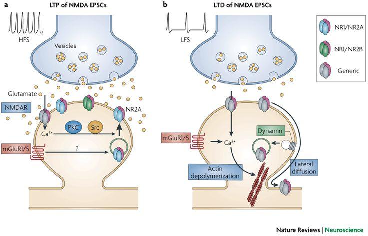 LTP vs. LTD  NMDA receptor trafficking in synaptic plasticity and neuropsychiatric disorders
