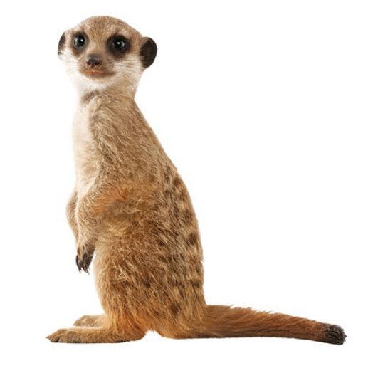 Meerkat wall sticker - KEK Amsterdam Safari Friends meerkat wall decal | Milk Tooth