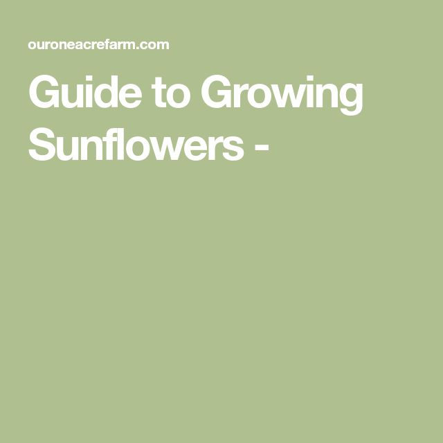 Guide to Growing Sunflowers -