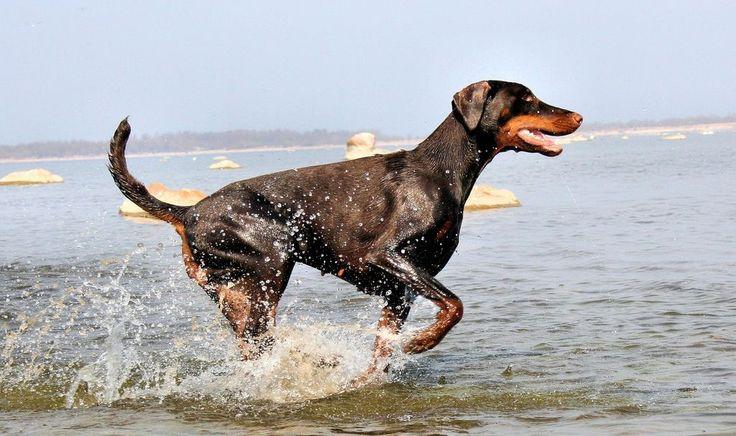Доберман-пинчер (фото): всё об особенностях беззаветно преданной хозяину породы