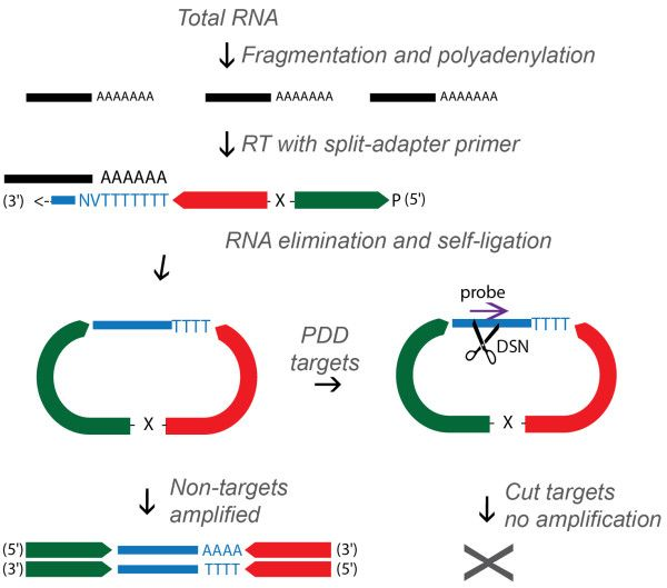 Here researchers from the Australian National University describe Probe-Directed Degradation (PDD), an approach that employs hybridisation t...