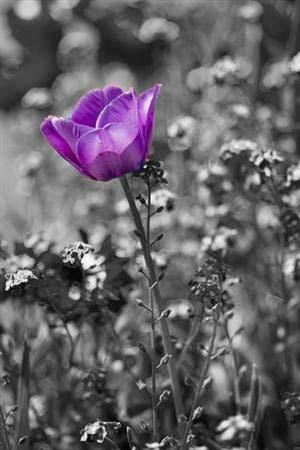 The meaning of the February Birth Flower, the Violet symbolizes faithfulness, humility, and chastity