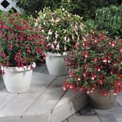 The Shadow dancer range of Fuchsias from Aussie Winners have a great natural habit for containers.