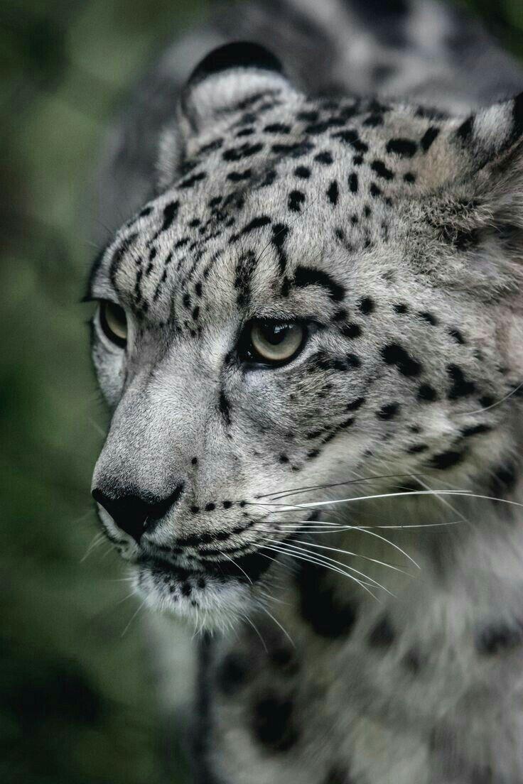 Pin van Janice Benevento op Big cat Dieren, Katje en Natuur