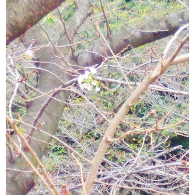 【piegoe7】さんのInstagramをピンしています。 《駅前にある桜🌸が1本だけ咲いてました。  昨日のちびまる子ちゃんで冬桜のことをやっていたけど、この桜はそれではなくまさにうっかり桜です😅  気が付いた人達はみんな写真📷撮ってました。  #桜 #サクラ #🌸#cherry_blossoms #花 #flower #秋なのに #うっかり #狂い咲き #珍しく#部分咲き #📷 #写真 #instafood #instaflower》