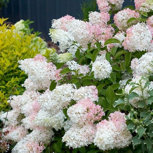 17 best images about flowering shrubs and decidous shrubs for Hardy flowering trees