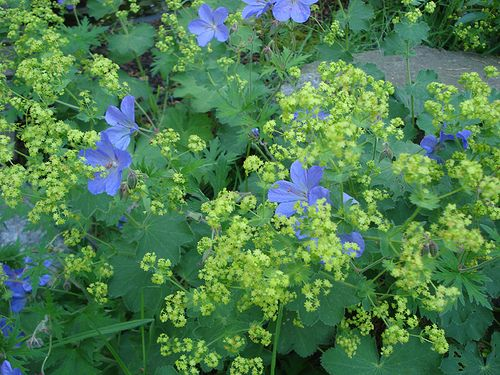 Alchemilla mollis and Geranium 'Johnson's Blue'