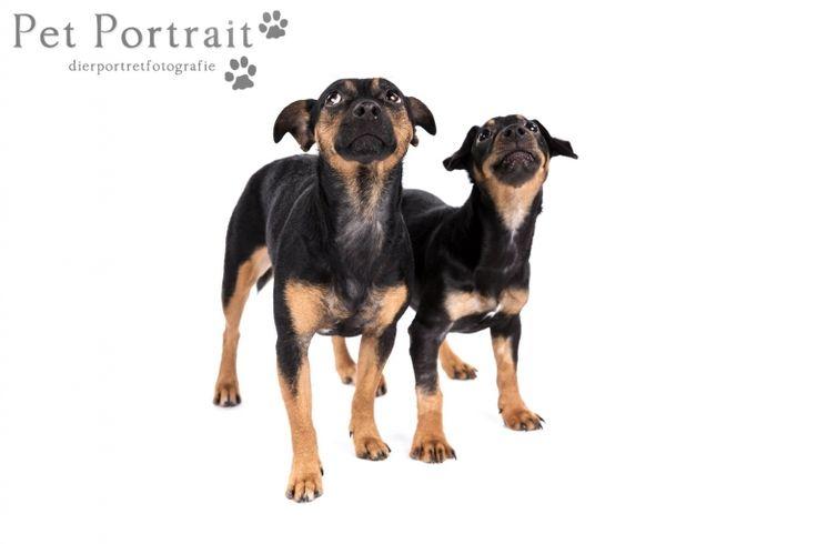 Hondenfotograaf Hillegom - Jack Russell Terriers-13