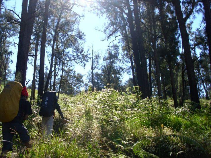 Menuju puncak Welirang, melintasi ilalang, berselimut hutan pinus.