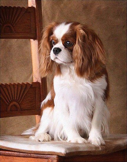 Dogs - Cavalier King Charles Spaniel