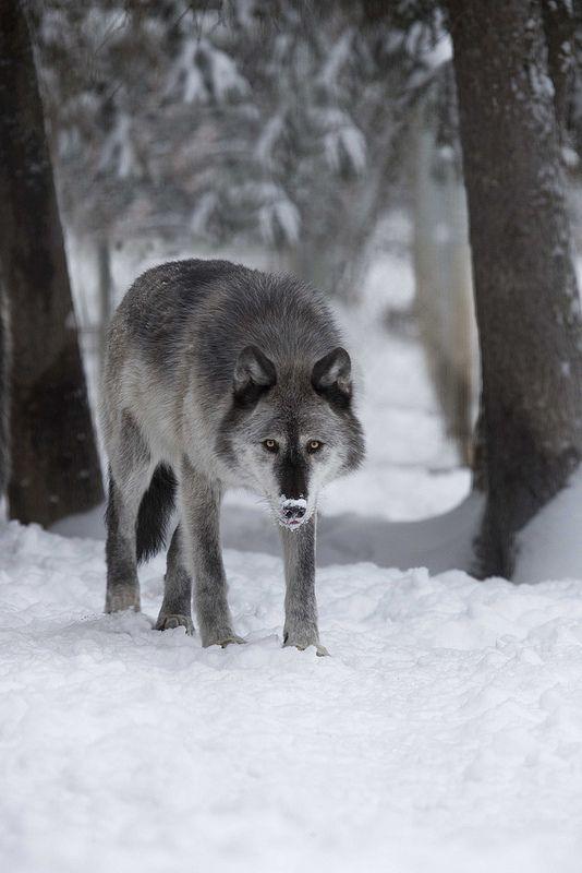 L〰Alaskan Wolf by Douglas Brown**