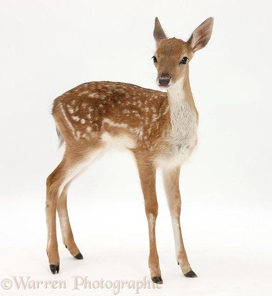 Fallow Deer (Dama dama) fawn.