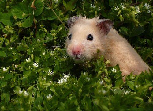 Hamster syrien et végétaux