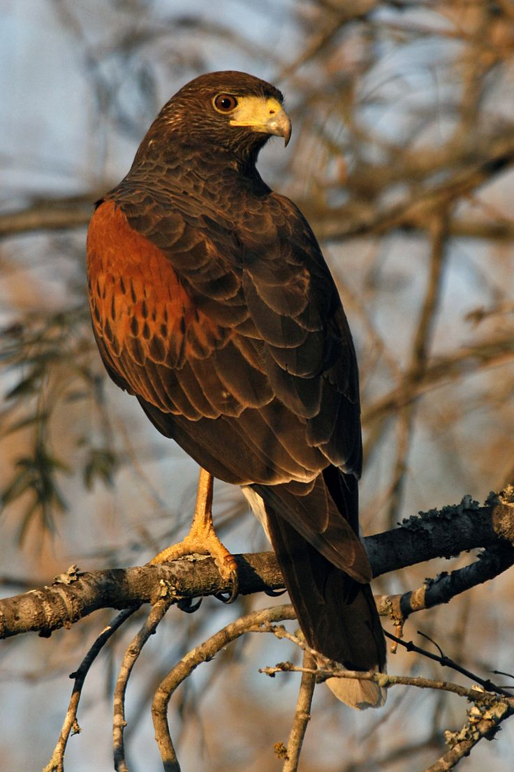 Types of Hawks - Different types of Hawk factsBirds Flight – All ...