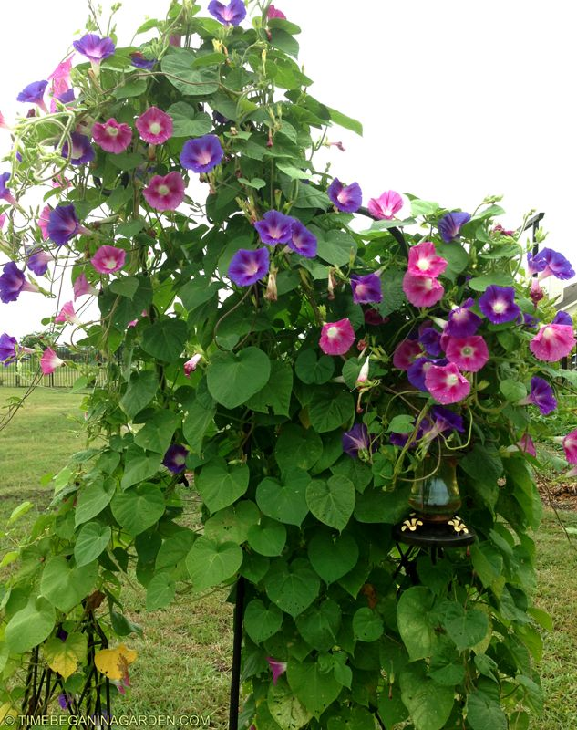 Morning glories up small tower for hummingbird garden for Hearty plants for outdoors
