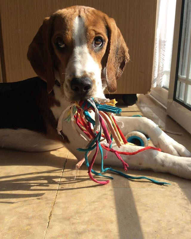 how to play with beagle