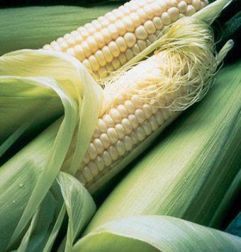 """Sweet Silver Queen Sweet Corn has 8"""", slightly tapered ears that are filled with 14-16 rows of sweet, richly flavored, tender white kernels. Great tip fill. Dark green, tight husks, and abundant dark flags. 7' plants. Requires warm (65°F/18°C) soil to germinate properly. Intermediate resistance to northern corn leaf blight and Stewart's wilt.  Ready to harvest in 91 days."""