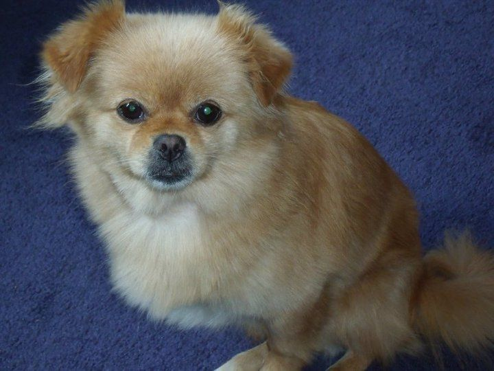 pomeranian mix with poodle 57 best pekingese pomeranian dogs images on pinterest 6217