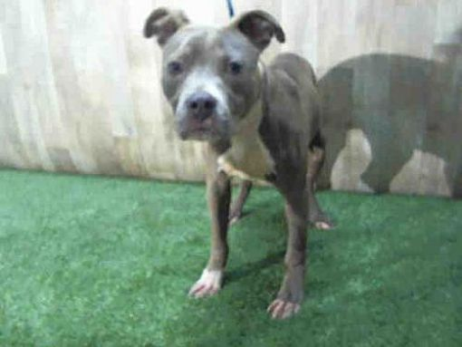 Pin On Pit Bull Doggie That Need Your Help
