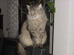 """Die Sibirische Katze ist eine halblanghaarige Rassekatze von kräftiger Statur, die seit 1987 planmäßig gezüchtet wird und in kurzer Zeit weltweite Verbreitung gefunden hat. Sie ist ursprünglich eine halblanghaarige russische Hauskatze, die nicht züchterisch beeinflusst wurde. Sie wird daher den """"natürlichen Rassen"""" und unter diesen den Waldkatzen zugerechnet. Zusammen mit der Norwegischen Waldkatze und der Maine Coon bildet sie die Gruppe der Waldkatzen, welche zu den Naturrassen zählen."""