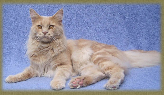 Maine Coon, creme tabby blotched (e 22). King of Lion's Baily.