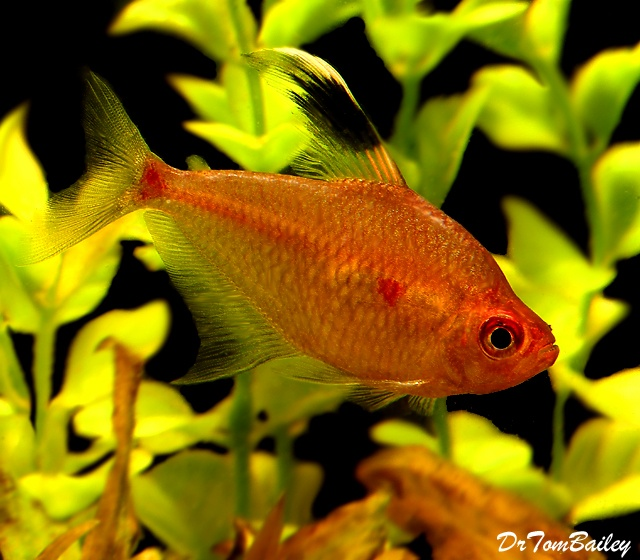 1000 images about tetras on pinterest amazon rainforest for Fish in the amazon