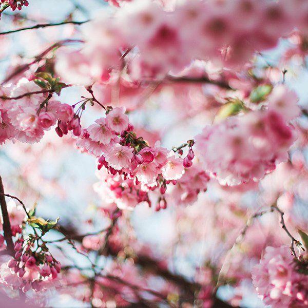 Get Hd Wallpaper Http Bit Ly 2hbgozz Nx72 Spring Cherry Blossom Tree Flower Pink Nature Via Http Cherry Blossom Tree Pink Nature Cherry Blossom Wallpaper