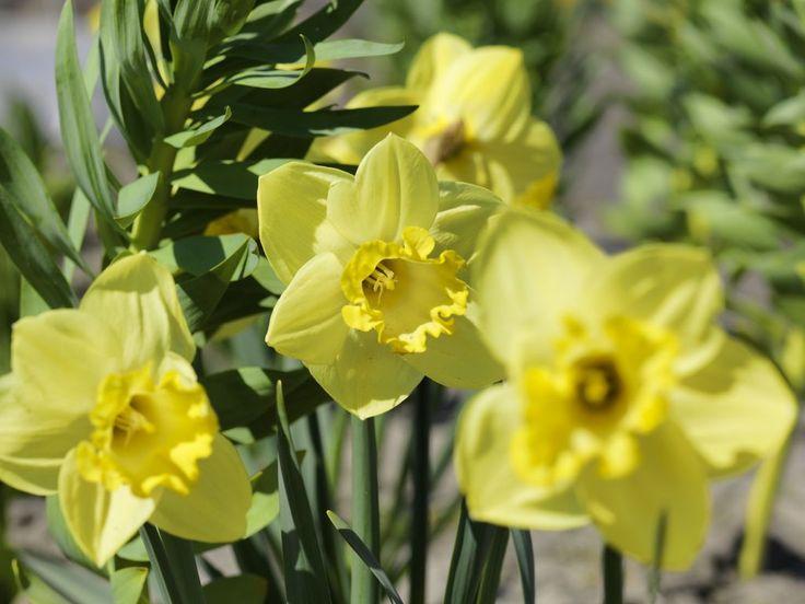 Påskelilje, Narcissus.